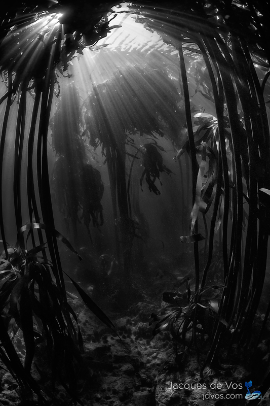 A black and white underwater seascape of a kelp forest.