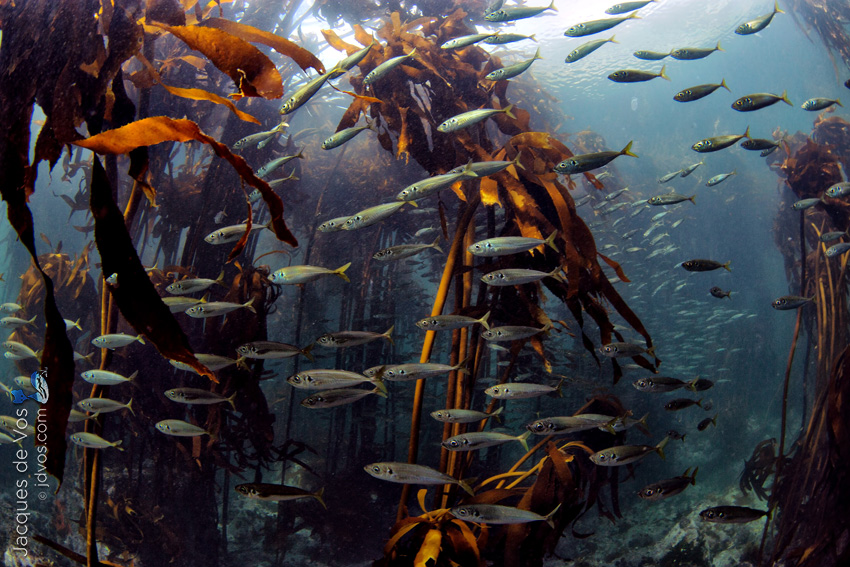 The viewers eye is led through an underwater seascape of a kelp forest in False Bay, South Africa.